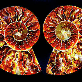 Ammonite Fossil-1-pair 1 by Paul W Faust - Impressions of Light