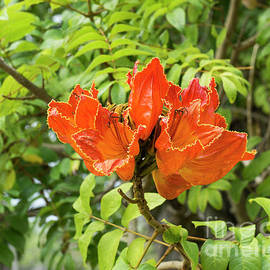 An African Tulip Tree Blossom At The Koreshan State Historic Sit by William Kuta