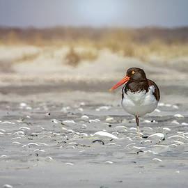An American Oystercatcher bird resting on a sandy beach. by Cindi Alvarado