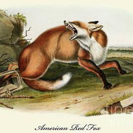 An American Red Fox Vintage Print by John James Audubon