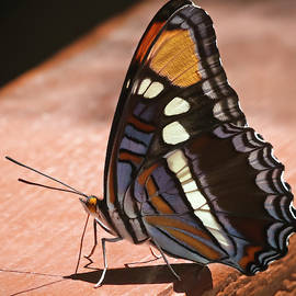 An Arizona Sister Butterfly, Adelpha eulalia, in Ramsey Canyon,  by Derrick Neill