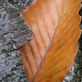 An Autumn Beech Leaf by Anne Ditmars