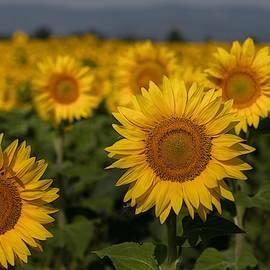 An ocean of sunflowers by Lynn Hopwood