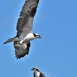 An Osprey Nest by Kim Bemis