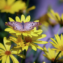 Anartia Jatrophae On Yellow Daisies by Saija Lehtonen
