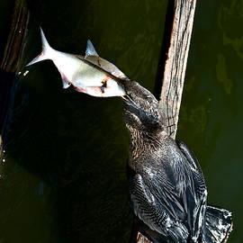 Anhinga and fish 007 by Chris Mercer