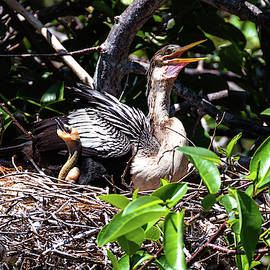 Anhinga bird with chicks in nest by Garrick Besterwitch
