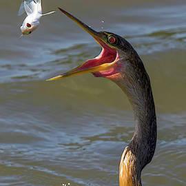 Anhinga catching fish Closeup by TJ Baccari