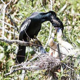 Anhinga Feeding Its Chicks by Felix Lai