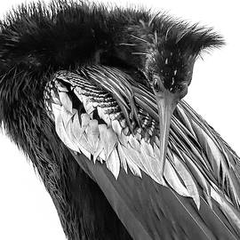 Rosette Doyle - Anhinga in Black and White
