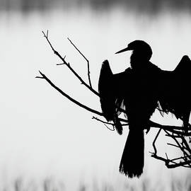 Anhinga Silhouette by Dawn Currie