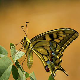 Gorgeous Swallowtail Butterfly - Papilio Zelicaon by Murad Moukhtarov