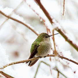 Anna Hummingbird in Winter by Peggy Collins