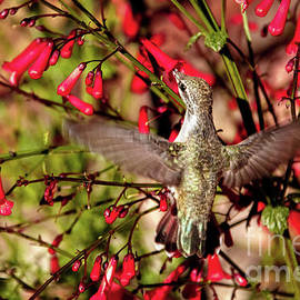 Anna's Feeding On Firecracker Plant by Robert Bales