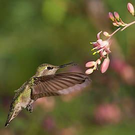 Anna's Hummingbird on a Summer Morning by Ruth Jolly