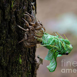 Annual Cicada Molting by Norma Brandsberg