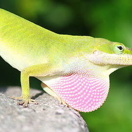 Anolis carolinensis Lizard by Candance Johnson