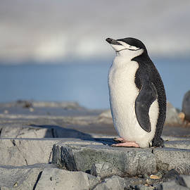 Antarctic Chinstrap Penguin by Lauri Novak