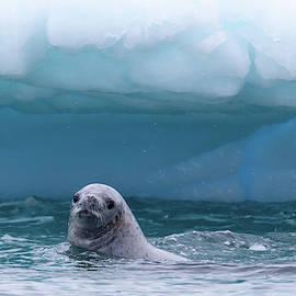 Antarctic Leopard Seal by Lauri Novak