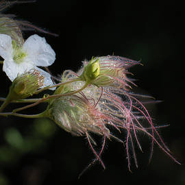 Apache Plume in the Evening by Jane Selverstone