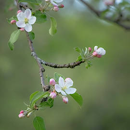 Apple Blossom by Tom Singleton