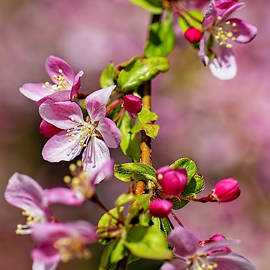 Apple Blossoms by Lorraine Baum