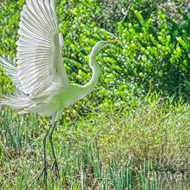 Judy Kay - Arising Egret