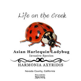 Asian Harlequin Ladybug by Lisa Redfern
