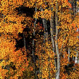 Aspen Glow Panoramic by Leland D Howard