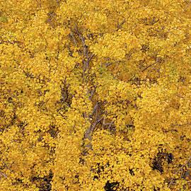 Aspen tree foliage in autumn colors by Juhani Viitanen