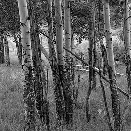 Aspen Trees Close Up in Black and White by Kyle Lee
