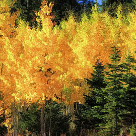 Aspens and Douglas Firs by Donna Kennedy