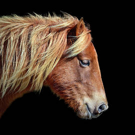 Assateague Pony Sarah's Sweet Tea On Black Square by Bill Swartwout Photography