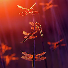 At the Fairy Fair - Dragonflies at sunset  by Roeselien Raimond