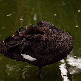 Australian Black Swan 006 by Chris Flees