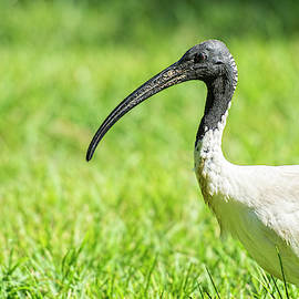 Australian White Ibis by Rob D Imagery