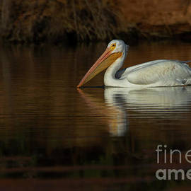 Autum Morning with an American White Pelican  by Ruth Jolly