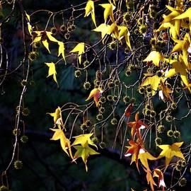 Autumn Gold by Frederick Hahn