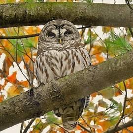 Autumn Owl by Carmen Macuga