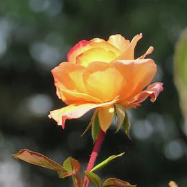 Autumn Rose - Floral Art - Photography - Roses by Brooks Garten Hauschild