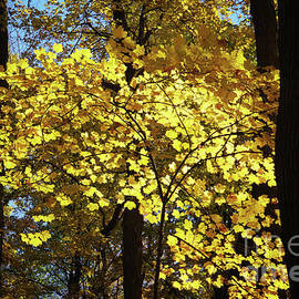 Autumn shades of Yellow by Rachel Cohen