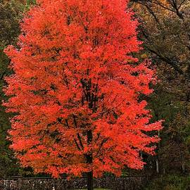 Autumn Tree Aflame  by Lori Frisch