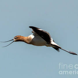 Avocet Sound Effects by Mike Dawson
