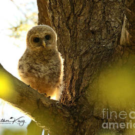 Baby barred owl backlit by Heather King