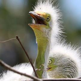 Baby Great Egret in Sunshine by Carol Groenen