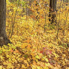 Baby Maples - Environmental Renewal in Golden Yellow by Georgia Mizuleva