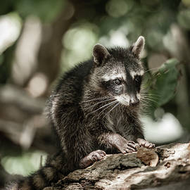 Baby racoon in the wild by Alexey Stiop