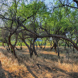 Backlit Sun Desert Trees On The Salt River by Dave Dilli