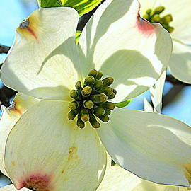 BACKYARD BLOOMS - White Dogwood by Arlane Crump