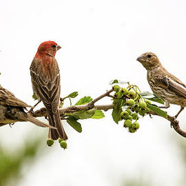 John Bartelt - Backyard House Finches